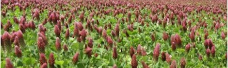Field of red clover.